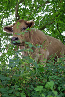 Cow on River Bank | by The Hungry Cyclist