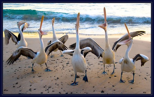 Pelicans-1 | by shmelly50