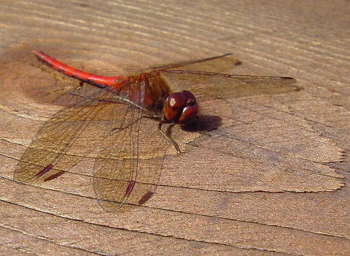 Autumn Yellow Legged Meadowhawk