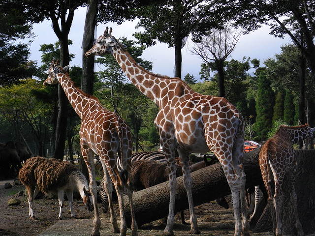 Giraffe's parent and child