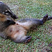 Coati scratching its belly