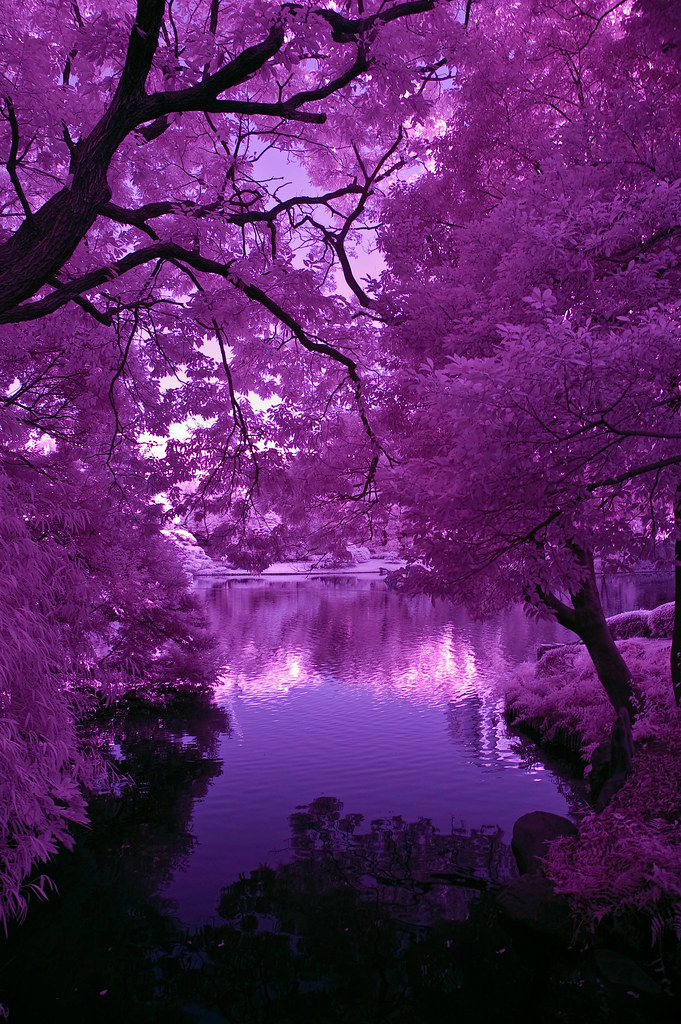Japanese Pond Purple Light And Shadows Copyright