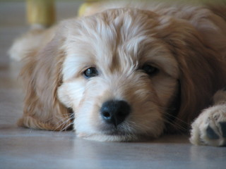 Plum tuckered !! Burton is one of Lilly Mae and Toby's puppies ! | by country mini-doodles