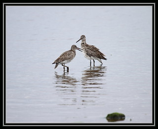 Courting Willet | by Greg's Always Catchin' Up
