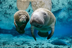 Manatee_Next_Generation_1 | by oceangrant