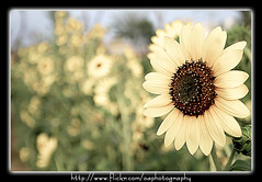 Sunflower Bokeh | by Omer_Arif