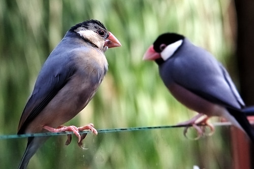 Java Sparrow ... | by John FotoHouse