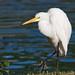 IMG_8272 Great Egret