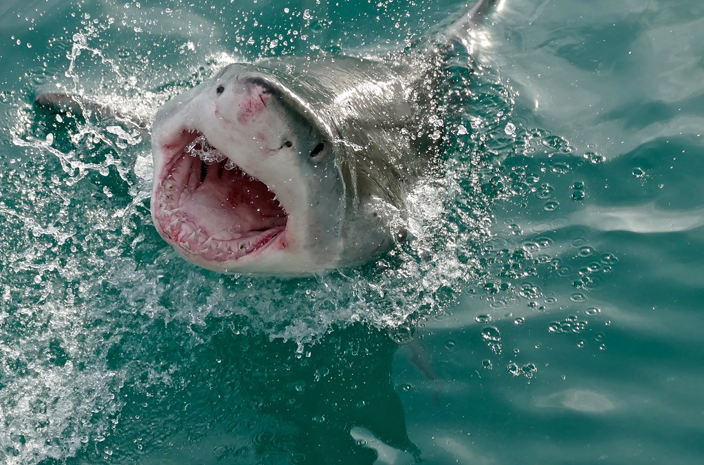 Great White Shark Carcharodon Carcharias  The Shallows -4880