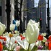 Tulips2006-2
