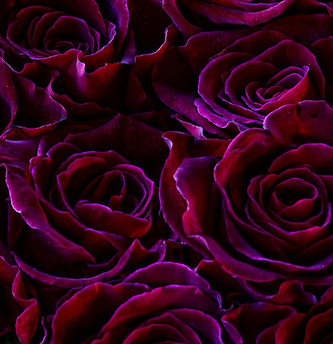 44491 dark purple black flowers of rosa black baccara