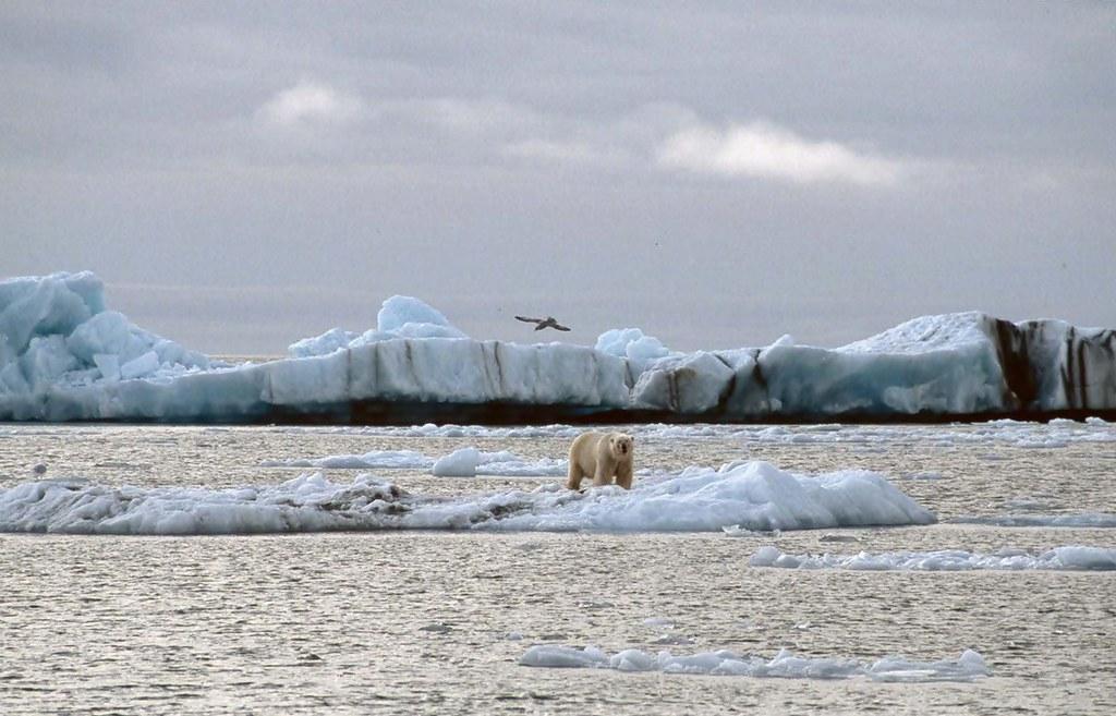 Polar bear | Eisbär auf Eisscholle im Hornsund/Spitzbergen ...