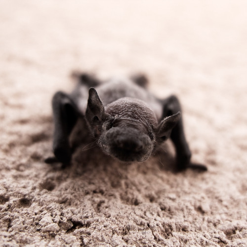 Baby Bat | by noiseburst