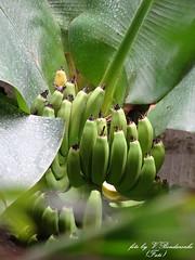 A trip to the banana farm