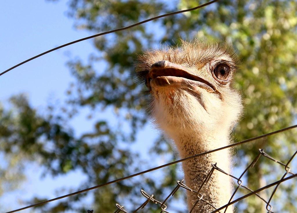 Avestruz / Ostrich | Cesar Redondo | Flickr