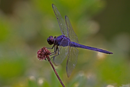 Purple Dragonfly | At the Mariners Museum in Newport News ...