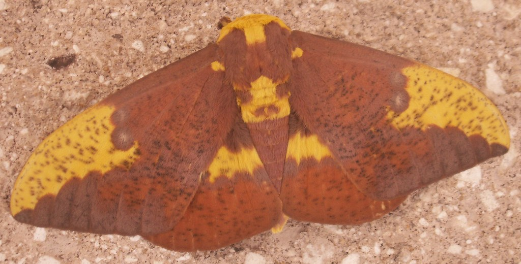 Male Imperial Moth Dorsal View Male Imperial Moth