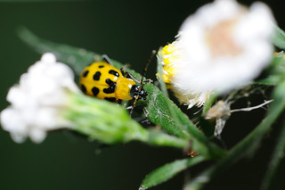 Spotted Cucumber Beetle | by RuffLife
