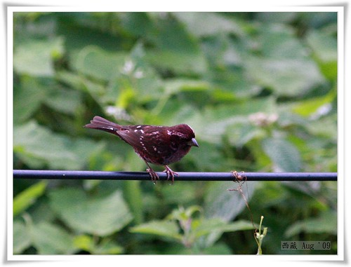 Spot-winged Rosefinch 點翅朱雀_01_nEO_IMG | by Ross on the Road