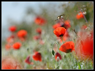 Poppy Bokeh-land! | by Levels Nature