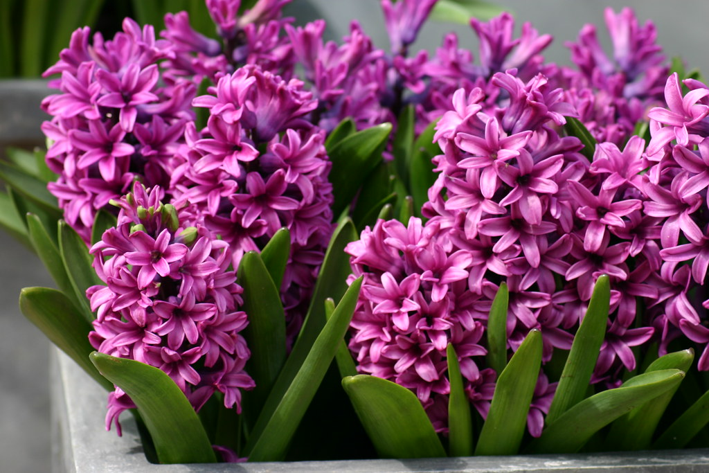 Image result for hyacinths