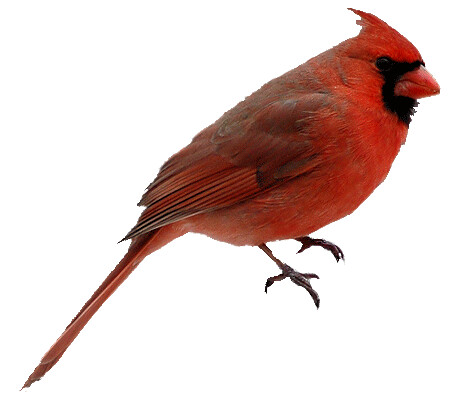 Cardinal png. | by Skeletalmess