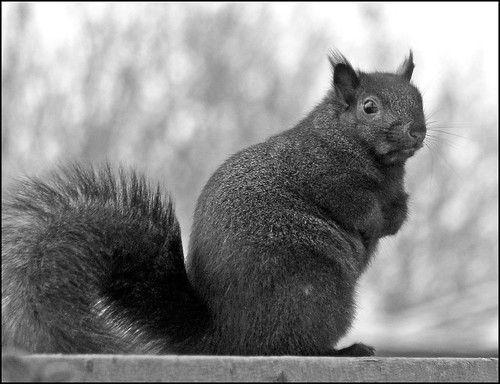 Black Squirrel B&W | by Sue90ca Monday Eclipse...Be Very Careful.