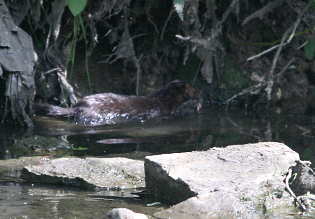 Mink and Moorhen chick No 1