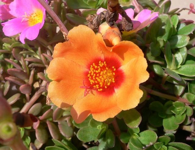 Portulaca Grandiflora Moss Rose Purslane Or Moss Rose