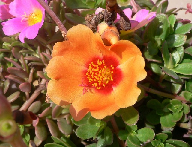 ... Portulaca Grandiflora (Moss Rose Purslane Or Moss Rose) | By Luigi  Strano
