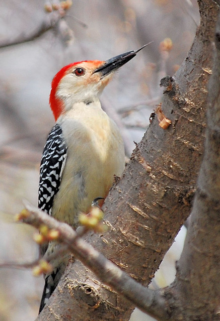 Red Bellied Woodpecker Extending Tongue Much To My