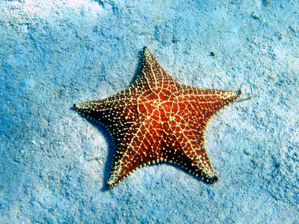 Cushion Sea Star | Oreaster reticulatus. Grand Cayman ...