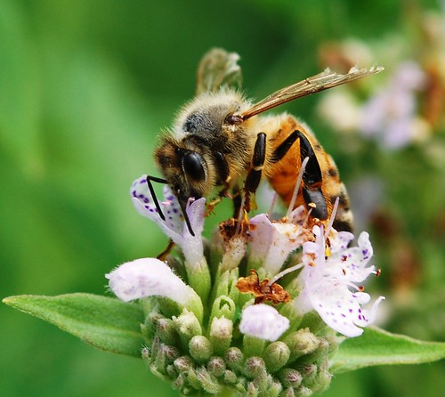 Honey Bee on Mountain Mint | by jbaker5
