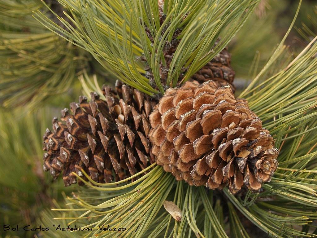 pino negro hartweg 39 s pine pinus hartwegii si bien es