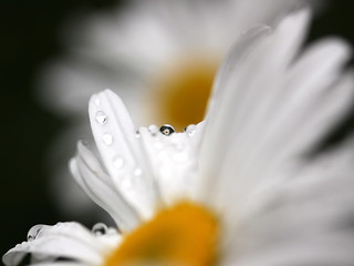 oops - a daisy | by jenny downing
