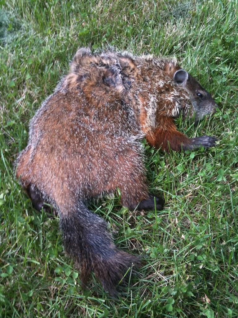 Dead Groundhog Our Annoying Dog Moon Makes A Grim Habit