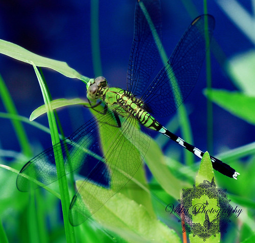 Image Result For Dragonfly Colors