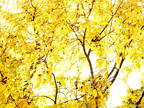 Golden Leaves | by kameron elisabeth