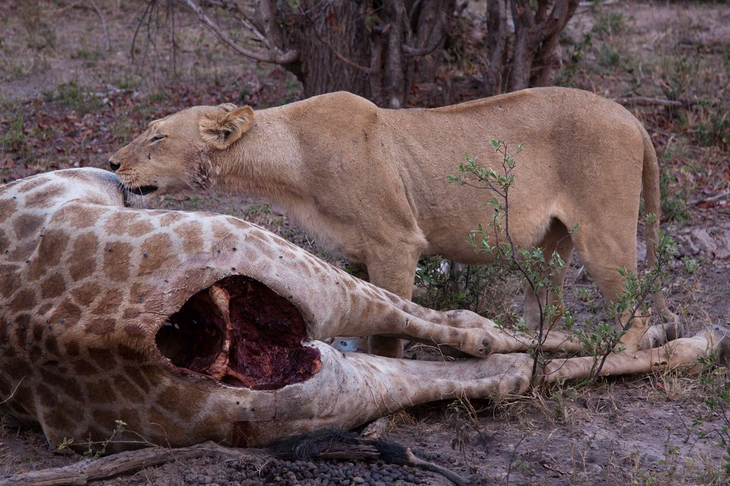 What do white lions eat - photo#21
