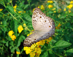 015. Grey Pansy... Butterfly