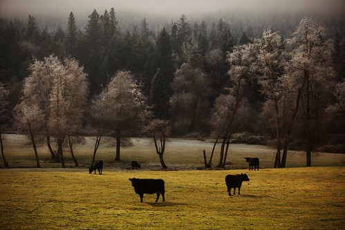 Black Cows and Frosted Trees | by Jennifers Photography