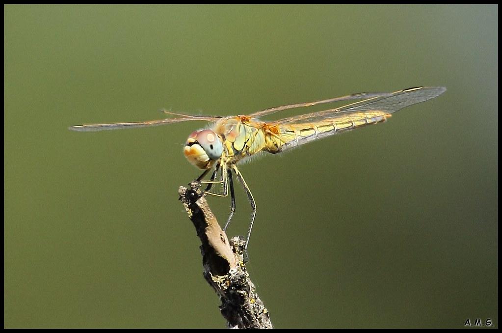 LIBÉLULA | Los anisópteros (Anisoptera, del griego ανισος an… | Flickr