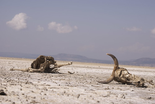 Cattle killed by the drought, Ethiopia | by Oxfam International