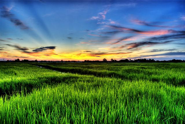 sawah padi sunset ver 1 2