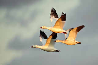 Snow Geese at Bosque del Apache | by howardignatius