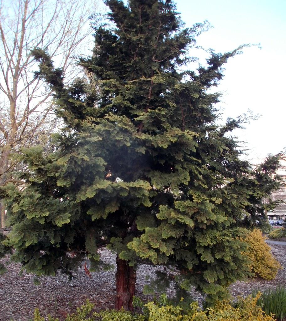 flat leaf cedar tree