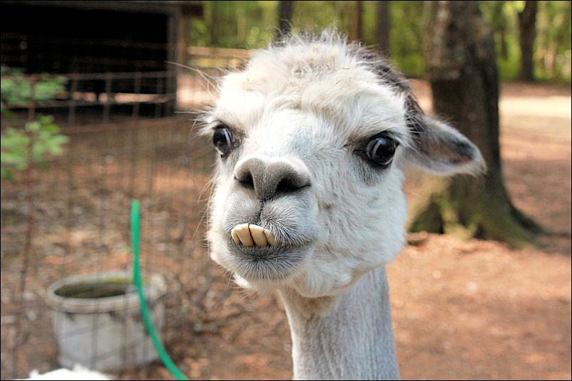 Alpaca So Ugly It S Cute Brandon Coffey Flickr