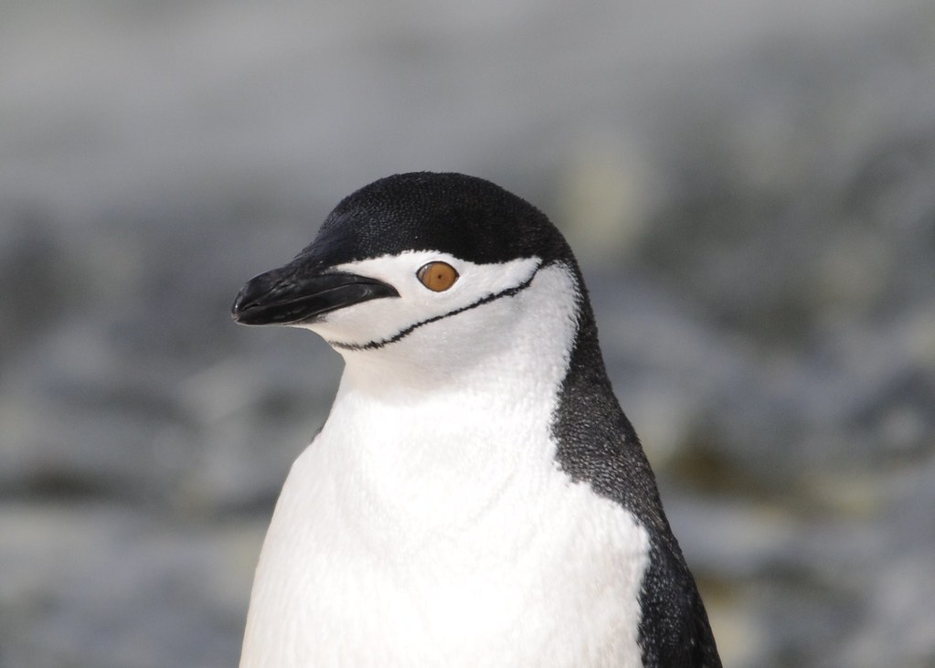 a look at the chinstrap penguins or pygoscelis antarctica I love the chinstrap penguins (pygoscelis antarctica) i took this photo at one of the weather stations in antarctica i love how the black chin line makes them look like they are smiling all the time.