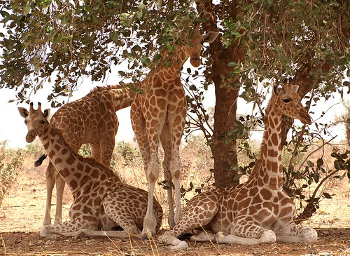 Giraffe kindergarten | by Focx Photography