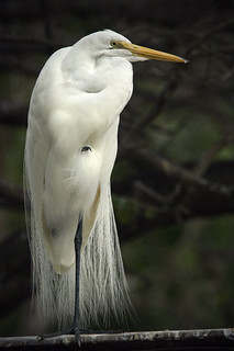 A Standing Great Egret | by Photo Mate Kitt